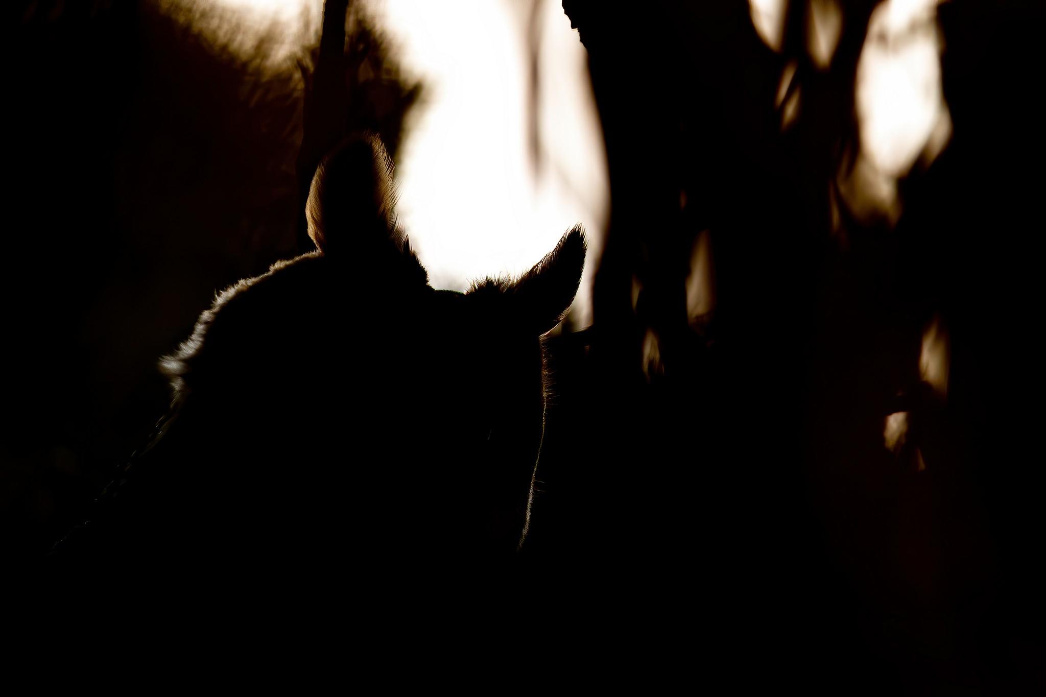 Hibou moyen-duc